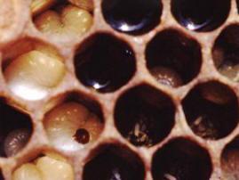 Varroa i yngelcell