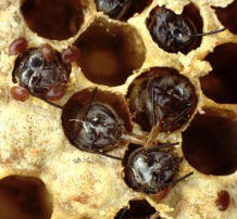 Varroa och krypande bin